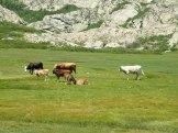 Des vaches apprécient l'herbe grasse