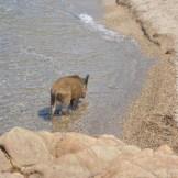 Un cochon dans l'eau