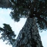 Au pied des pins Laricci