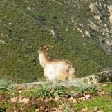 Une chèvre profite de la vue