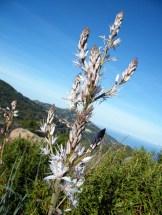 Les asphodèles sont en fleurs