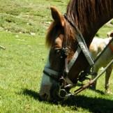 Le cheval de Lisa aime l'herbe grasse