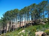 Un drôle d'alignement de pins