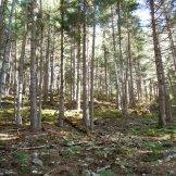 Nous nous élevons sous les pins