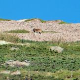 Un mouflon!