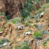Des chèvres à Scandola