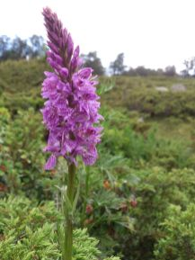 Une orchis