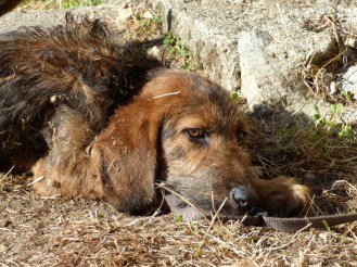 Un chien à Gialghellu