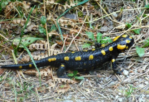Une salamandre corse à Cervellu