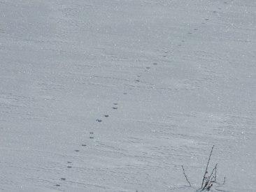 Des traces d'un petit truc qui a marché dans la neige