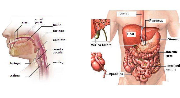 organele sistemului digestiv