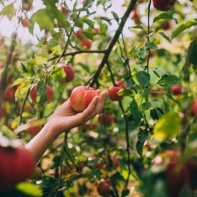 أفضل الأماكن لقطف التفاح بالقرب من شيكاغو