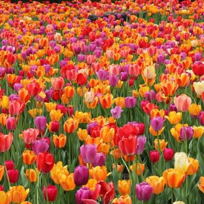 مع ارتفاع درجات الحرارة في جميع أنحاء المنطقة، من المقرر أن يفتتح مهرجان التوليب الربيعي السنوي في مزرعة ريتشاردسون في «سبرينج جروف» يوم الجمعة