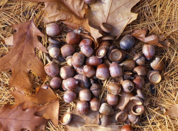 Acorns Are In Short Supply This Year Here S Why Chicago Tribune