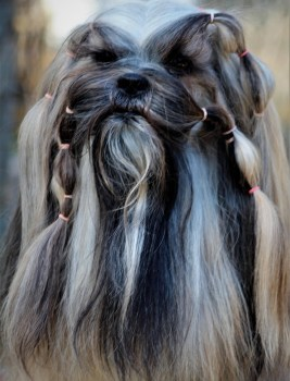Let´s study correct lhasa apso head. What is happenning to true heads?