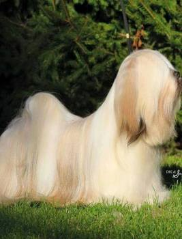 Unique lhasa apso puppies expected – linebreeding to the very best producer