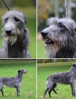 We are expecting our generation three deerhound puppies