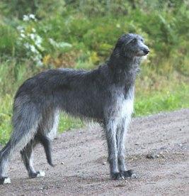 Skotlanninhirvikoira on jumalainen olento ja täysin ainutlaatuinen koira rotujen joukossa
