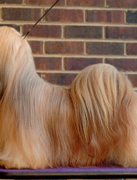 Very unique outcross lhasa apso litters are expected