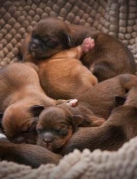 Feromonit ovat oleellinen asia koiranjalostuksessa