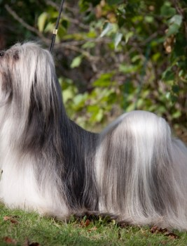 Truly interesting outcross Lhasa apso babies expected – classical type to type