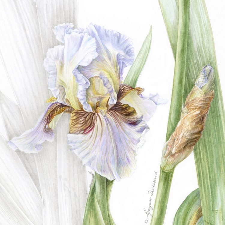 "Benton Iris ""Farewell"" - Watercolour & Graphite"