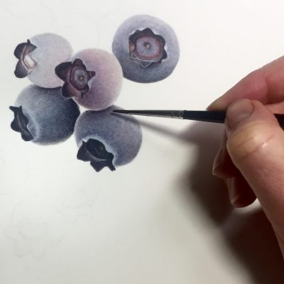 blueberries - work in progress - watercolour on paper - 30 x 40 cm - by Liz Shippam