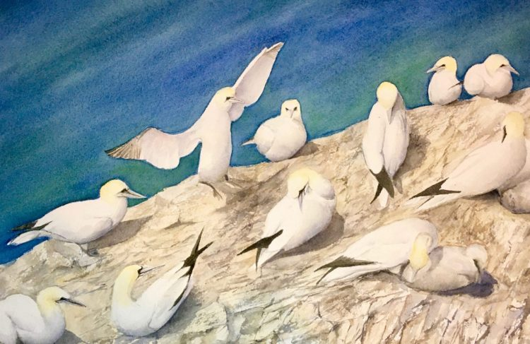Gannets - watercolour