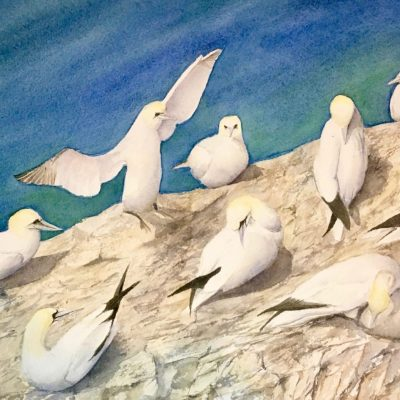 Gannets - watercolour - 2.5MB - by Rosy Turner