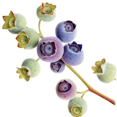 Ripening Blueberries 'Coville' - watercolour on paper - 25x25 - by Liz Shippam
