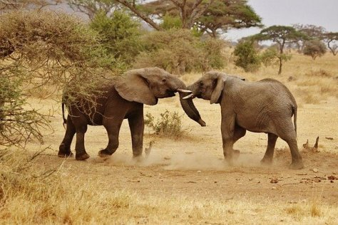 Elephants playing in the Serengeti