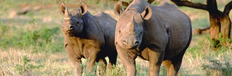 Rhinos at Kruger National Park, South Africa