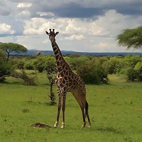 A giraffe in the Serengeti, Tanzania
