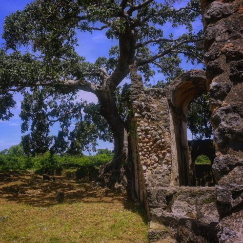 A tree overtakes the ruins of the great mosque of Kilwa, Tanzania