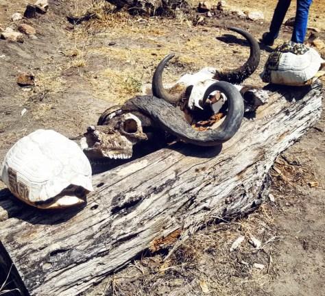 Skulls on Log, Ndabaka gate, Serengeti