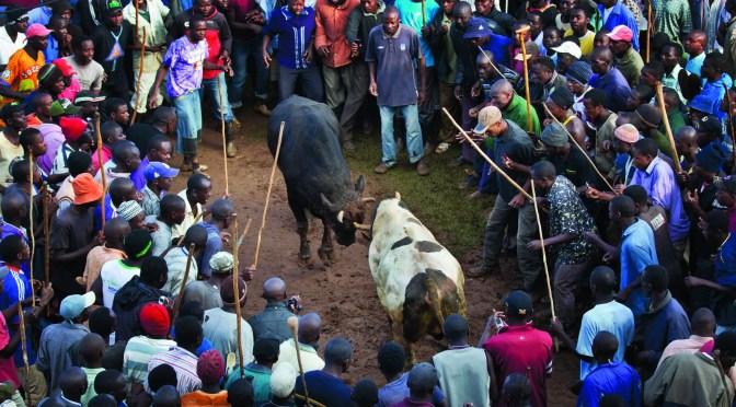Bullfighting Kenya