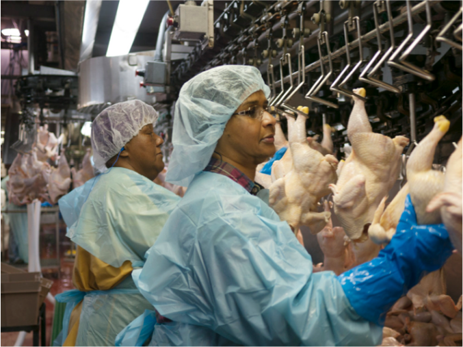 How are chickens slaughtered and processed for meat?