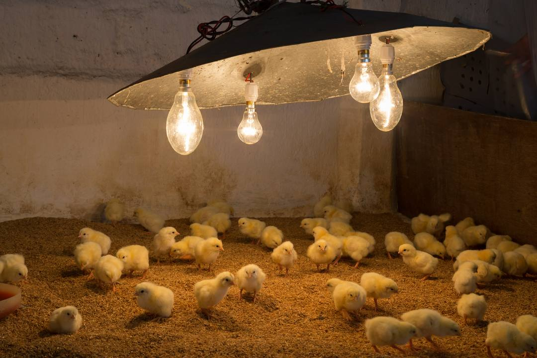 Chickens Them Lamp