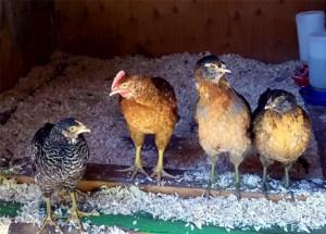chicks_6w_coop_4chicks_630x451
