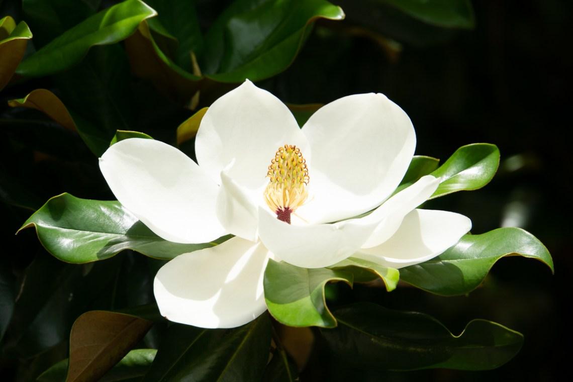 Magnolia grandiflora (southern magnolia) in New Orleans