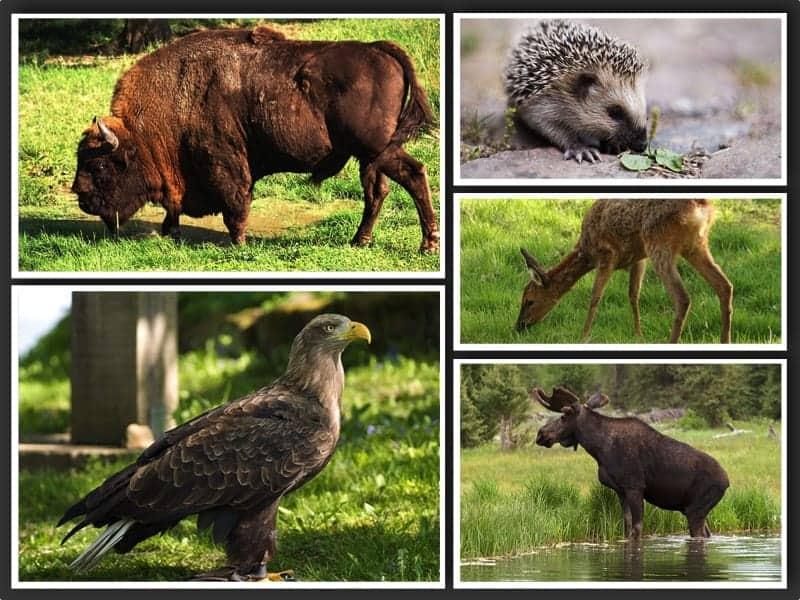 Top 10 Wild Animals in Poland  | an Extraordinary List