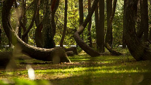 Crooked Forest Poland 3