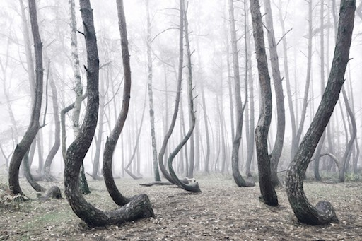 Crooked Forest Poland 4