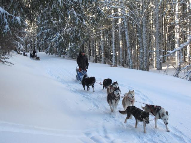 race de chien de traineau le husky d'alaska