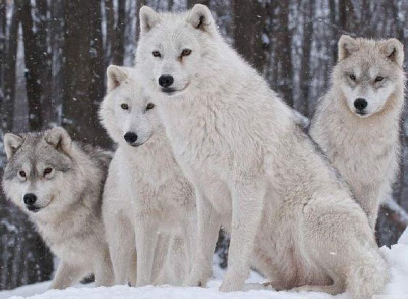 esquimau du Groenland et loup blanc
