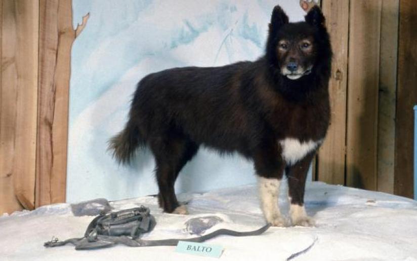 Le Husky de sibérie Balto