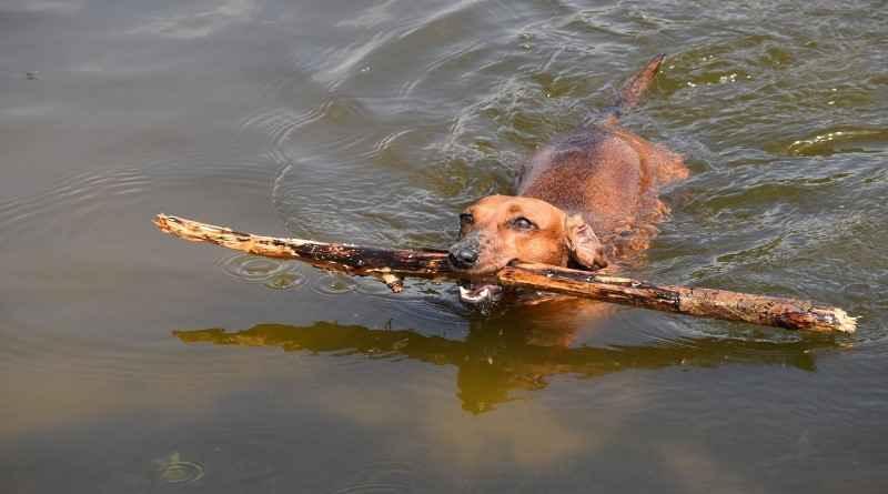 Le teckel qui aime jouer dans l'eau avec un morceau de bois.