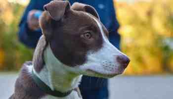 Dressage chien facile avec les différentes techniques. Leurre, click/récompense, mimétisme, posture naturelle.