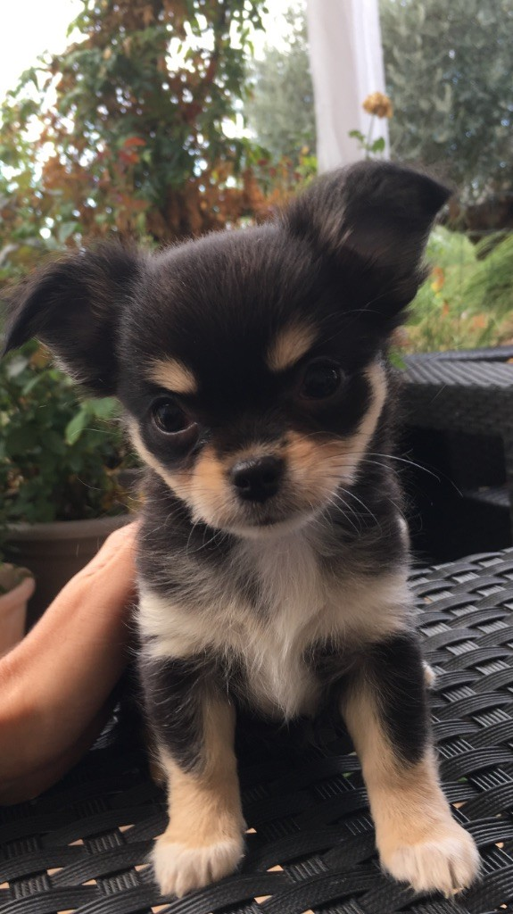 mayapan eleveur de chiens chihuahua