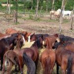 Coronavirus / Salvati da una gara di solidarietà i 170 cavalli di Leini dopo l'appello su La Stampa